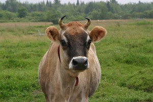 Cows are Friends, not sources of B12